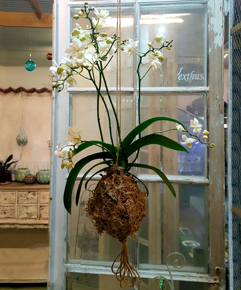 Mossbollsplantering av orkide i kokedamateknik