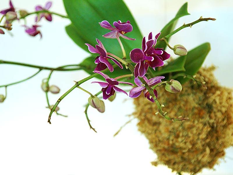 Orkidé i hängande mossboll, kokedama