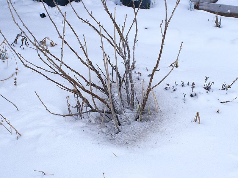 ¨Vedaska kan användas för att ge näring till bärbuskar