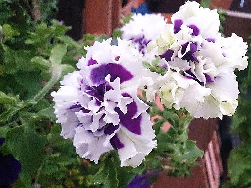 Hängpetunia med dubbla blommor