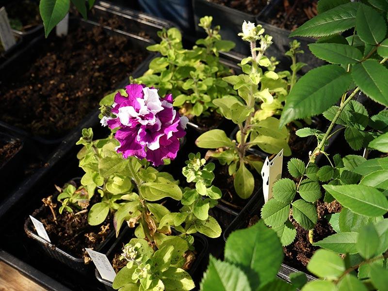 Rotade petuniasticklingar som har börjat blomma