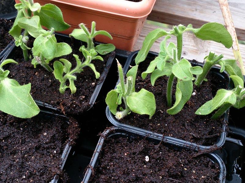Nyplanterade sticklingar av petunia