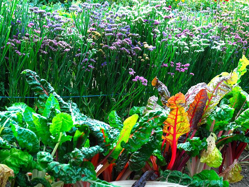 Mangold odling på friland med blommor potager