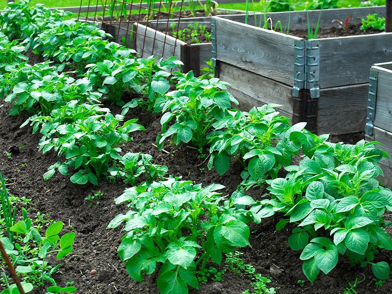 potatisodling i grönsaksland