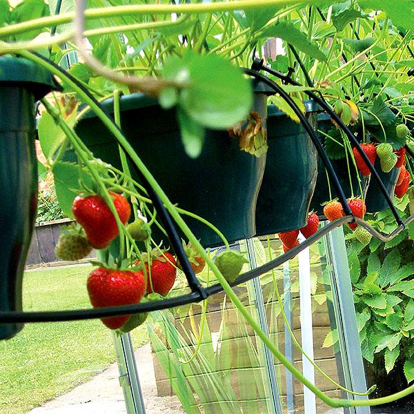Droppbevattning av jordgubbar i växthus