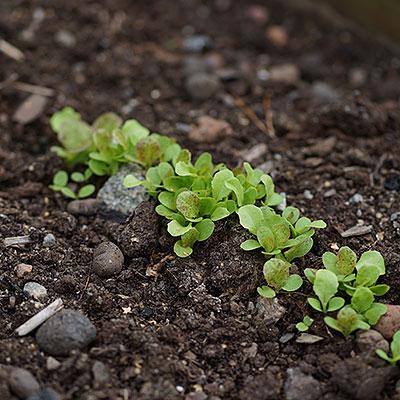 Frö till sallad och bladgrönsaker