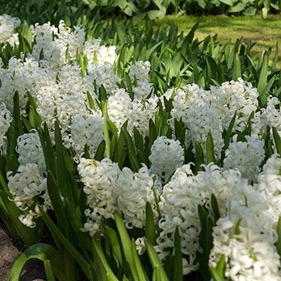 Lökar till vårblommande hyacinter