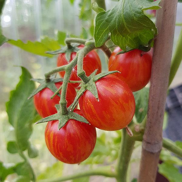 Tomatfröer - busktomater och högväxta tomater