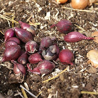 Sättlök för odling av matlök och vitlök