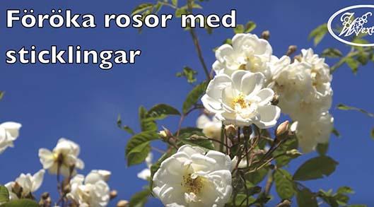 Föröka rosor med sticklingar