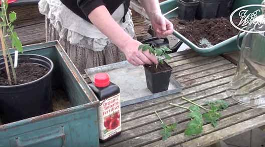 Odla och föröka dina tomatplantor